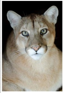 Puma Concolor – photo by Alan Olander