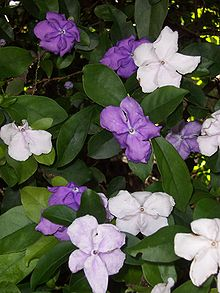 Brunfelsia grandiflora