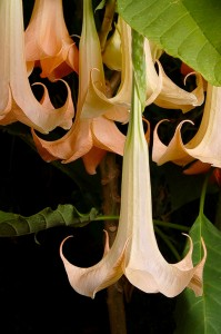 Brugmansia versicolor