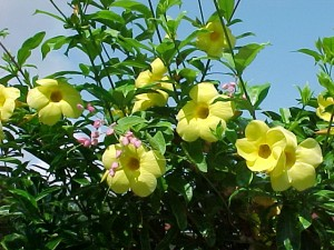 alamanda