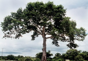 Ceiba pentandra