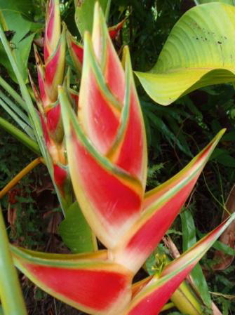 Heliconia wagneriana