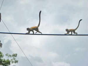 monkey bridge, mother followed by baby