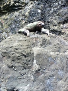 Sloth on the rocks
