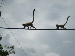 Monkeys Crossing a Bridge