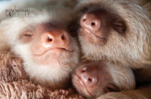 Baby 2-toed sloths