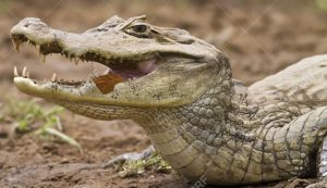 13571260-Cayman-Caiman-crocodilus-fuscus-with-butterfly-feeding-in-its-mouth-Cano-Negro-reserve-Alajuela-Cost-Stock-Photo